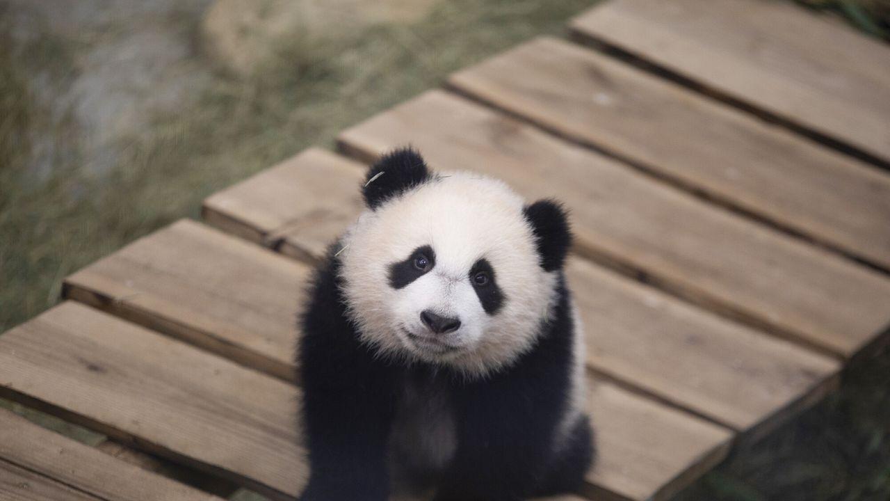 Het echte leven in de dierentuin De kleine reuzenpanda - Het echte leven in de dierentuin