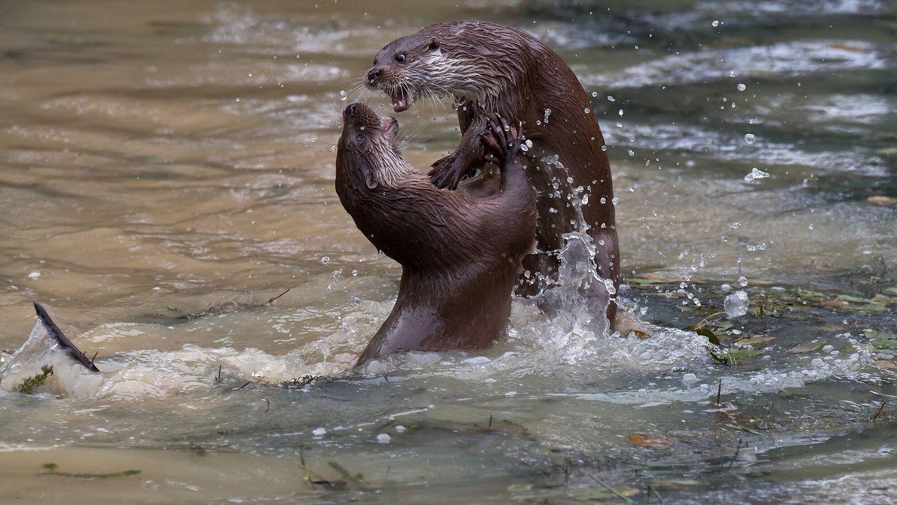 De otter, een legende keert terug De otter, een legende keert terug