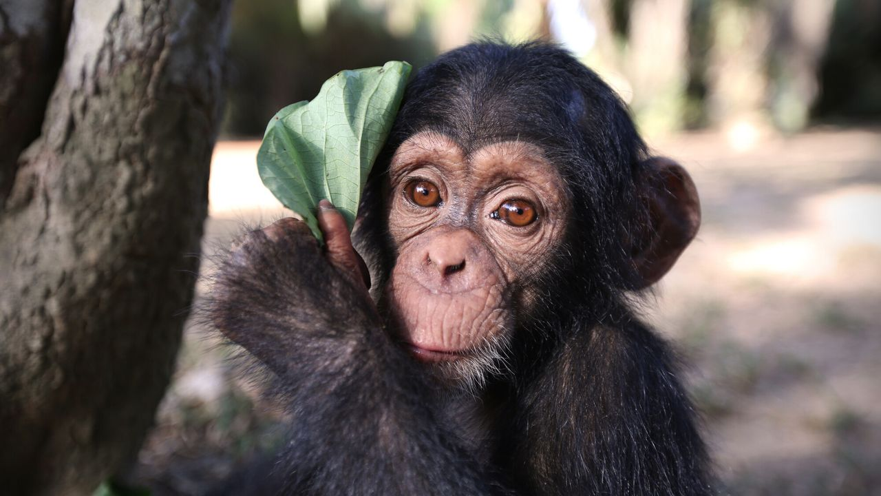 Baby Chimp Rescue Baby Chimp Rescue