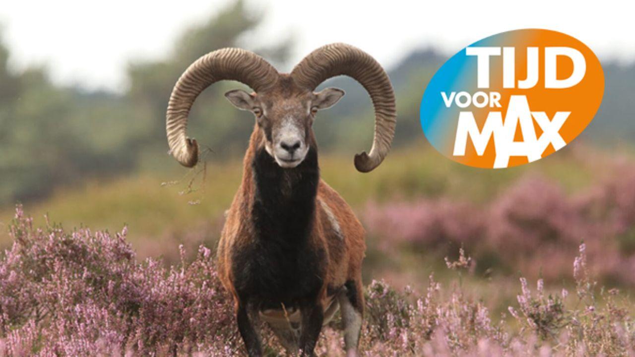 Tijd Voor Max - De Moeflon 100 Jaar Op Nationaal Park De Hoge Veluwe